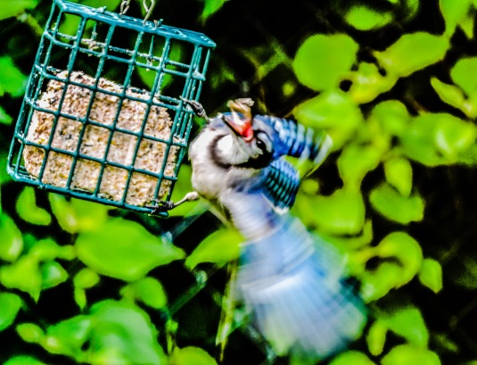 Blue Jay landing on a suet cage.