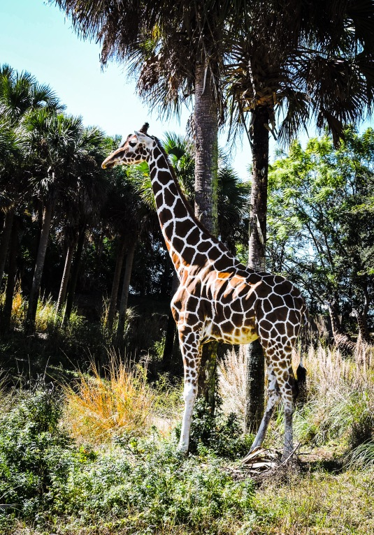 Giraffe  from Animal Kingdom at WDW.