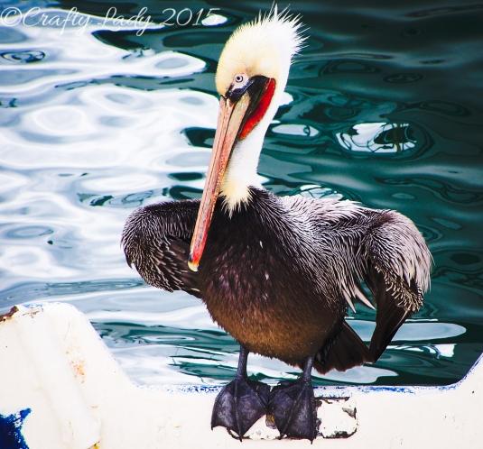 Pelican In Cabo San Lucas