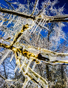 Enveloped- Ice around the branches of my tree.
