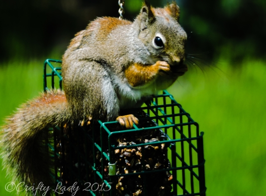 Squirrel on one of my feeders. He is back!