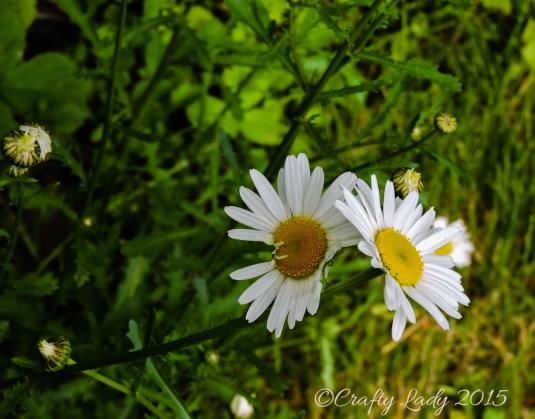 daisy12.usejpg