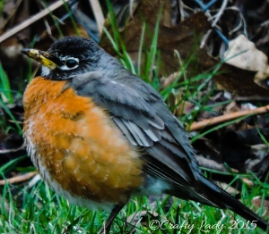 female robin