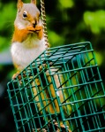squirrel on cage_edited