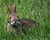 young rabbit2