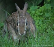 young rabbit3