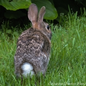 young rabbit4