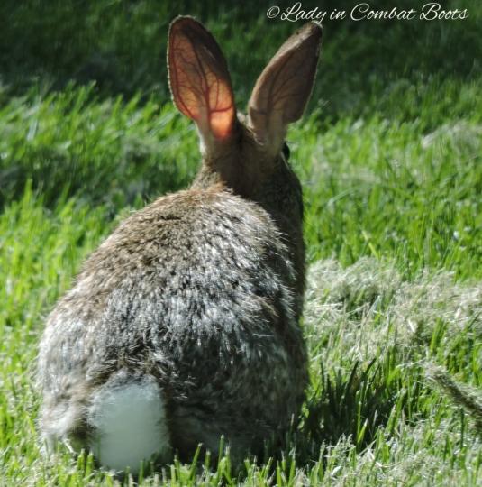 rabbit in sun