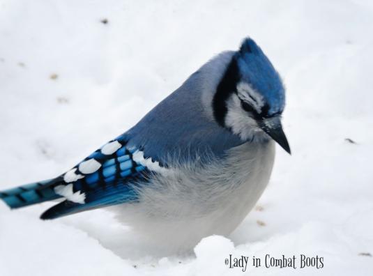 blue Jay3
